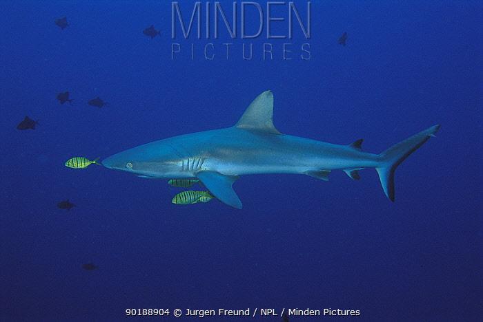 Grey reef shark (Carcharhinus amblyrhynchos) Sulu-sulawesi seas, Indo-pacific  -  Jurgen Freund/ npl