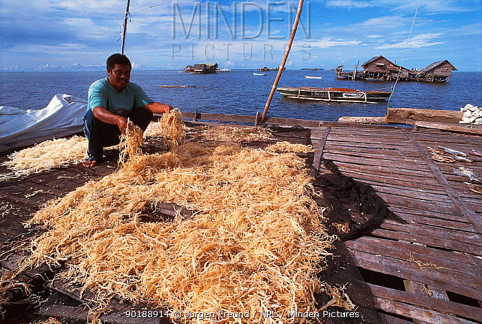 Seaweed drying Arenas, Cagayancillo, Philippines Seaweed used to produce carageen, a binding agent used extensively in cosmetic products 2000  -  Jurgen Freund/ npl