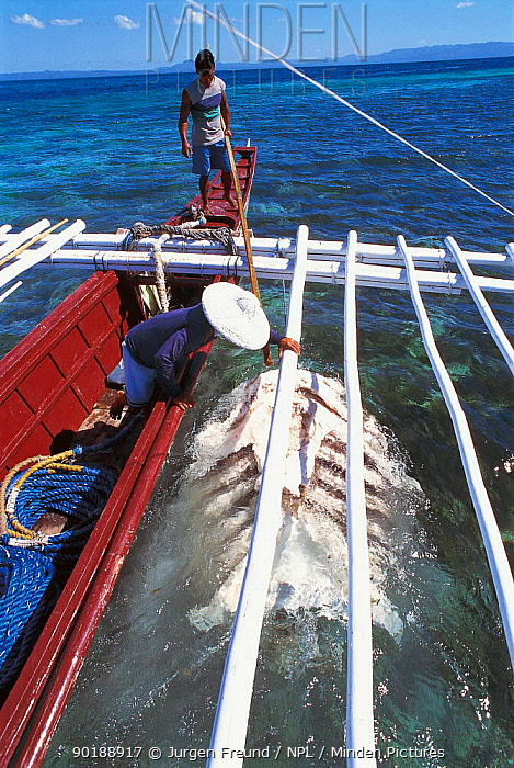 Unwanted Whale shark parts are dumped at sea Pamilacan, Bohol, Philippines 1997  -  Jurgen Freund/ npl