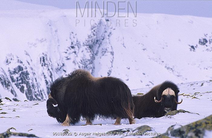 Muskoxen in snow (Ovibos moschatus) Dovrefjell, Norway  -  Asgeir Helgestad/ npl