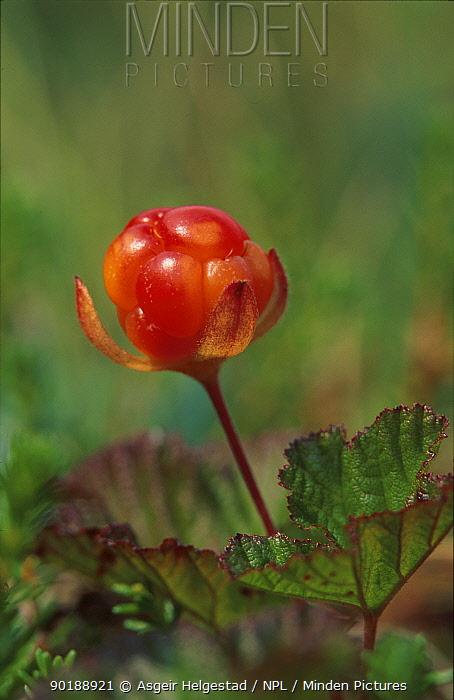 Arctic cloudberry fruit (Rubus chamaemorus) Norway  -  Asgeir Helgestad/ npl