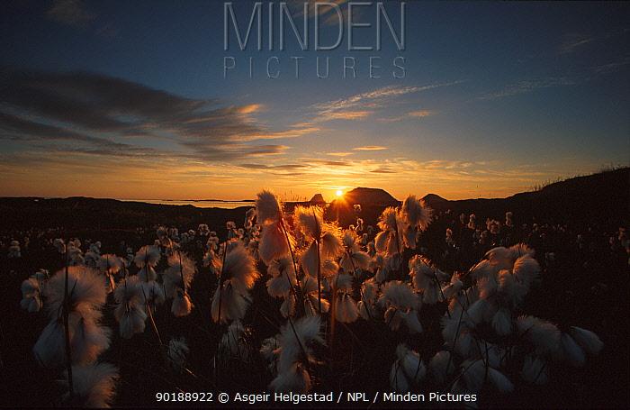 Cotton grass flowering (Eriophorum angustifolium) Nordkapp, Norway  -  Asgeir Helgestad/ npl