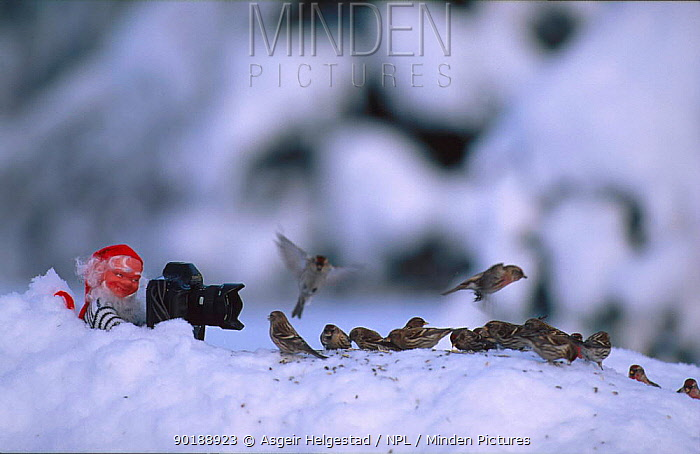 Santa claus gnome photographing flock of Redpolls (Acanthis flammea) Norway  -  Asgeir Helgestad/ npl