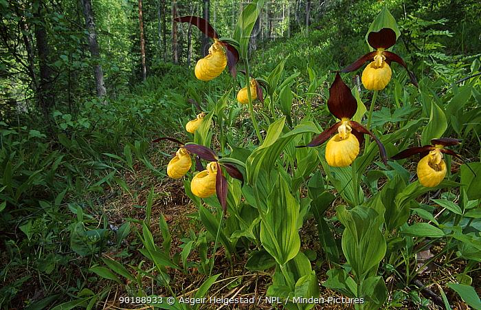 Yellow lady slipper orchids (Cypripedium calceolus) Norway  -  Asgeir Helgestad/ npl