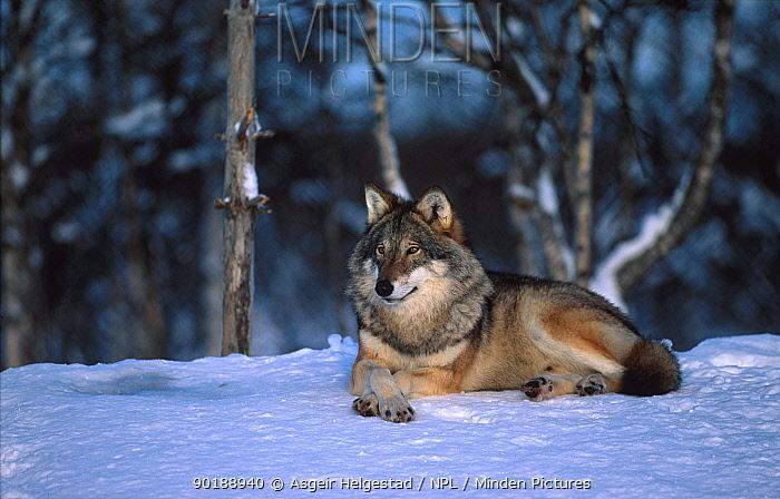 European grey wolf male (Canis lupus) Norway  -  Asgeir Helgestad/ npl