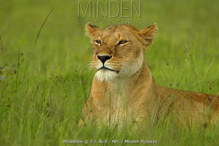 Lioness lieing in grass (Panthera leo) Masai Mara, Kenya, Africa  -  T.J. Rich/ npl