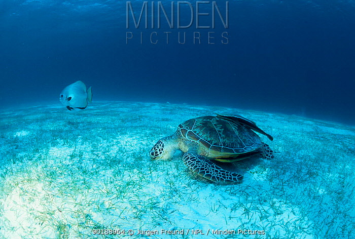 Green sea turtle feeding on sea grass (Chelonia mydas) Indo-Pacific  -  Jurgen Freund/ npl