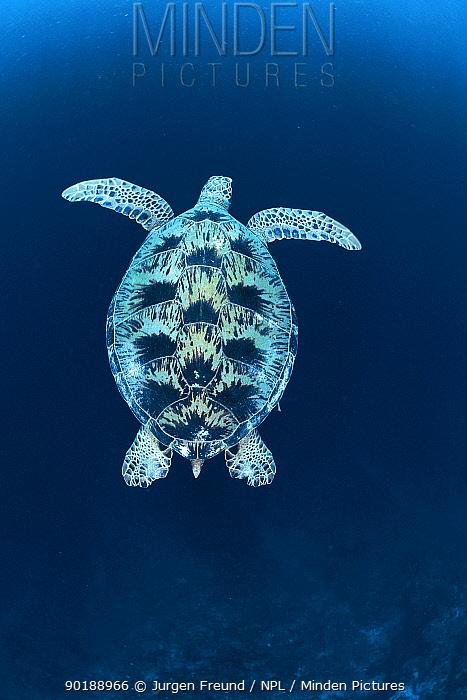 Green sea turtle (Chelonia mydas), Indo Pacific  -  Jurgen Freund/ npl
