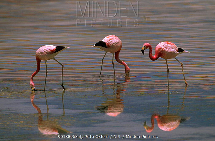Andean flamingoes feeding (Phoenicoparrus andinus) Laguna Blanca, Bolivia, South America  -  Pete Oxford/ npl