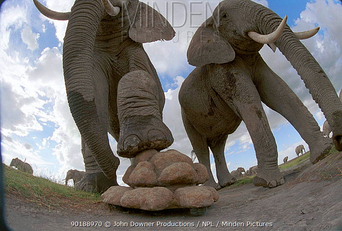 Elephant using foot to explore dungcam, remotely controlled video camera used for filming BBC television programme 'Elephants, Spy in the Herd' 2003  -  JDP/ npl