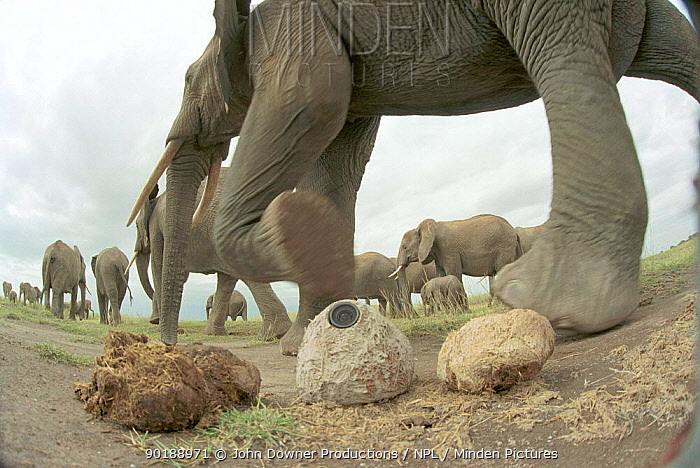 Plopcam', remotely controlled video camera disguised as dung, used to film elephant herd for BBC television film 'Elephants, Spy in the Herd' 2003  -  JDP/ npl