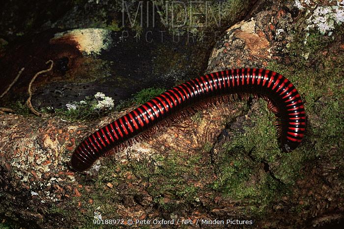 Giant millipede (Sphaerotherium sp) Madagascar  -  Pete Oxford/ npl