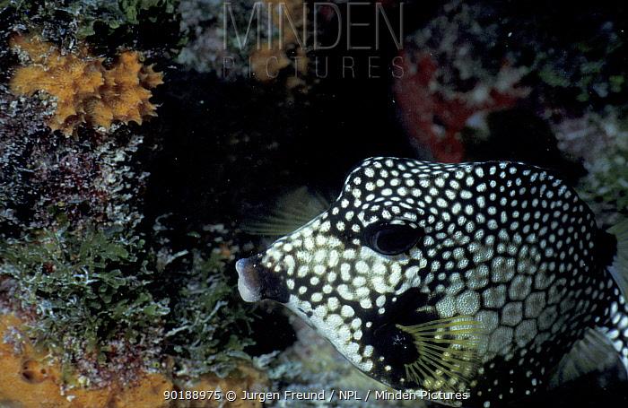 Smooth trunkfish (Lactophrys triqueter) Caribbean sea  -  Jurgen Freund/ npl
