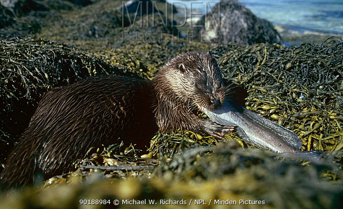 Wild European river otter (Lutra lutra) eating Wolf fish, Norway, Europe  -  Michael W. Richards/ npl