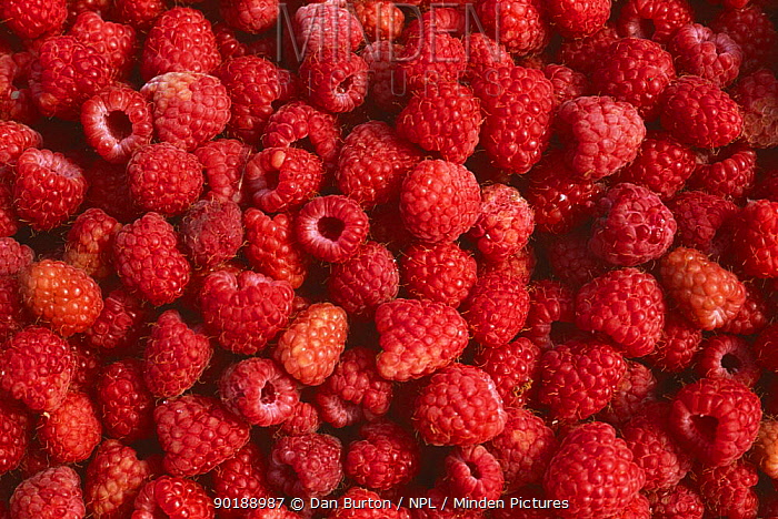 Raspberries freshly picked (Rubus idaeus) Devon, UK allotment garden  -  Dan Burton/ npl