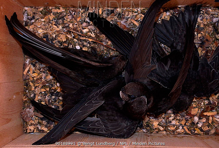 Common swifts feeding hungry 5-week-old chicks in nestbox, Sweden 11 August  -  Bengt Lundberg/ npl