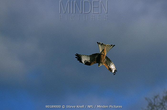Red kite in acrobatic flight (Milvus milvus) UK  -  Steve Knell/ npl
