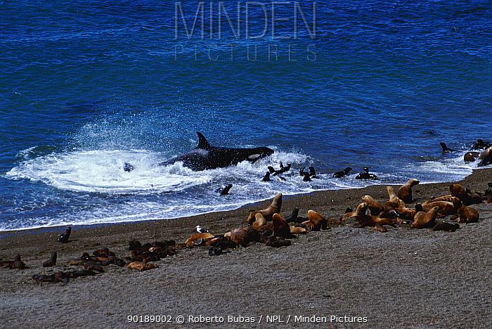 Killer whales (Orcinus orca) hunting sealions (Otaria flavescens) along coast of Valdez, Argentina, South America  -  Roberto Bubas/ npl