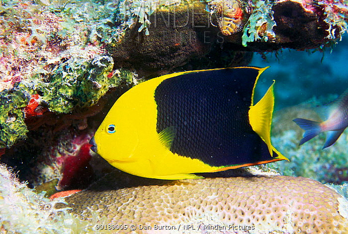 Rock beautiful angelfish (Holacanthus tricolor) Florida, USA  -  Dan Burton/ npl