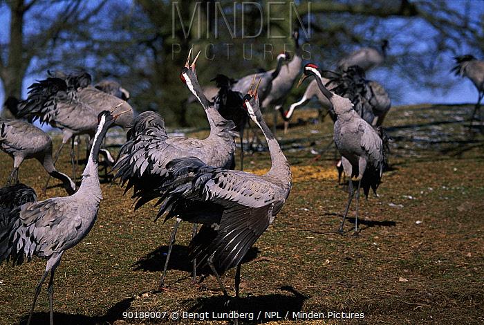 Common cranes display (Grus grus) on migration Hornborgasjon, Sweden  -  Bengt Lundberg/ npl