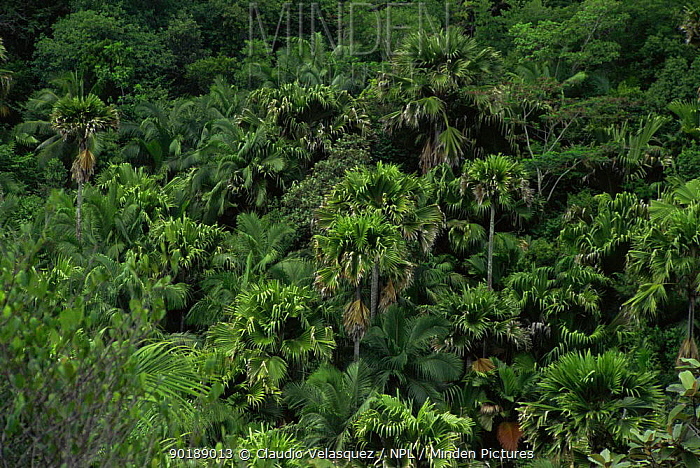Tropical rainforest canopy with coconut palm trees Vallee de Mai Praslin Island Seychelles & Minden Pictures stock photos - Tropical rainforest canopy with ...