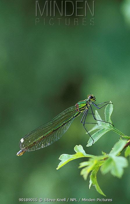 Banded demoiselle female (Calopteryx splendens) UK  -  Steve Knell/ npl