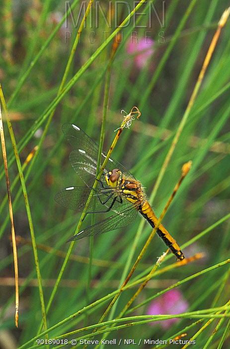 Black sympetrum, darter dragonfly (Sympetrum danae) female, Scotland  -  Steve Knell/ npl