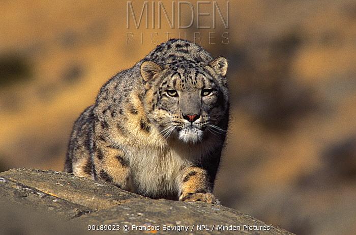 Snow leopard Wild (Panthera uncia) Ladakh, India  -  Francois Savigny/ npl