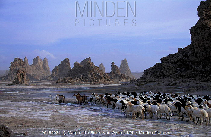 Mineral 'chimneys' of Lac Abbe, Djibouti, East Africa and herdsman with flock of goats Chimneys  -  Marguerite Smits Van Oyen/ npl