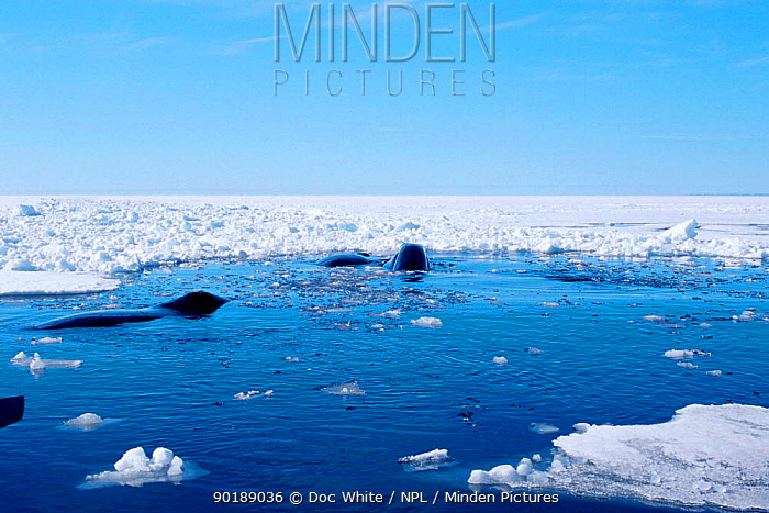 Bowhead whales (Balaena mysticetus) at sea surface among ice floes, Baffin Island, Canadian Arctic  -  Doc White/ npl