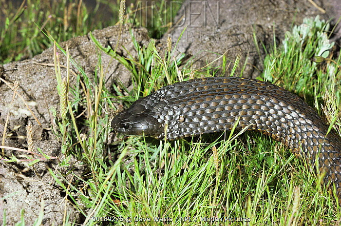Tiger Snake (Notechis scutatus) with flattened head and neck, a sign of aggression before striking,  -  Dave Watts/ npl