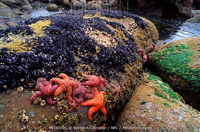 Ochre seastars uncovered on rocks along coast at low tide, Olympic NP, Washington, USA  -  Bernard Castelein/ npl