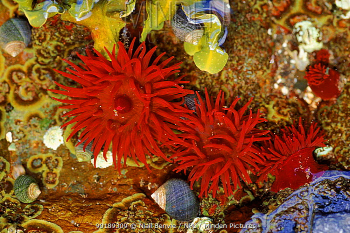 Beadlet anemone with periwinkles (Actinia equina) Mull, Scotland  -  Niall Benvie/ npl