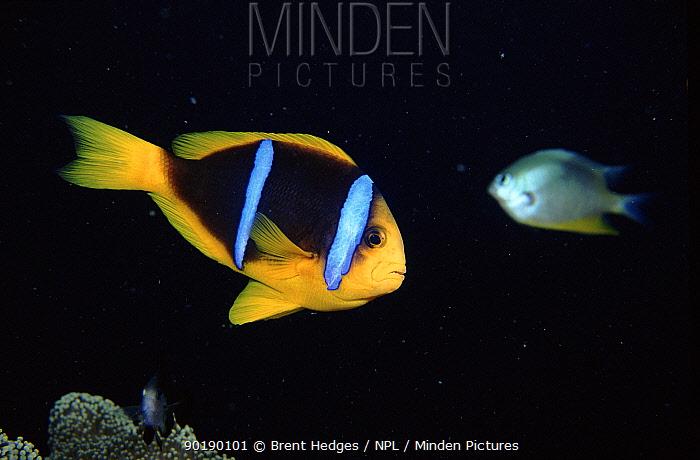 Orange fin anemonefish (Amphiprion chrysopterus) Coral Sea, Australia  -  Brent Hedges/ npl