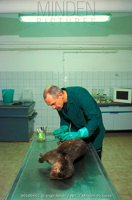 Researcher examines dead European river otter (Lutra lutra) road kill, Germany  -  Ingo Arndt/ npl