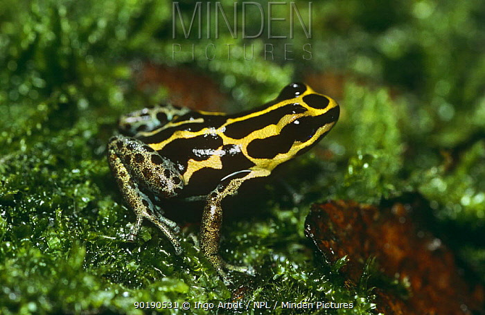 Poison arrow frog (Dendrobates tricolor) captive, from South America  -  Ingo Arndt/ npl