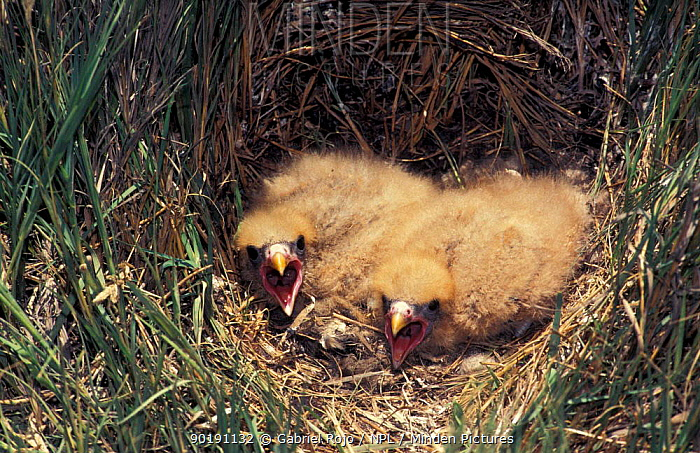 Yellow headed, Chimango caracara chicks in nest (Milvago chimachima) Argentina  -  Gabriel Rojo/ npl