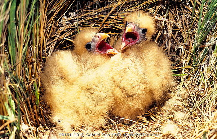 Yellow headed, Chimango caracara (Milvago chimachima) chicks in nest, Argentina  -  Gabriel Rojo/ npl