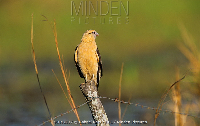 Yellow headed, Chimango caracara (Milvago chimachima) perched, Argentina  -  Gabriel Rojo/ npl
