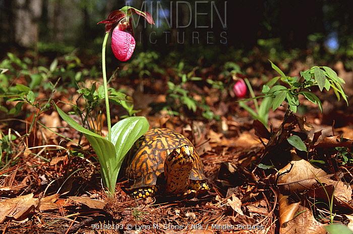 Eastern box turtle (Terrapene carolina carolina) beneath flowering Pink ladies slipper orchid, Michigan, USA  -  Lynn M. Stone/ npl
