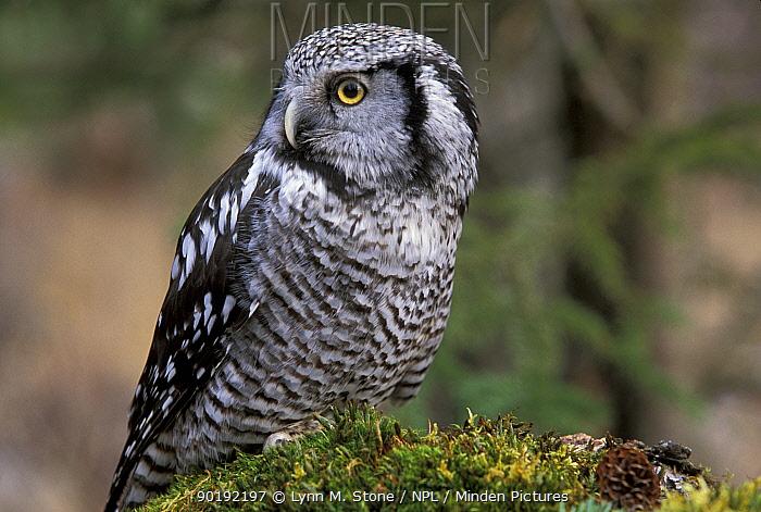 Northern hawk owl (Surnia ulula) Alaska, US, captive  -  Lynn M. Stone/ npl