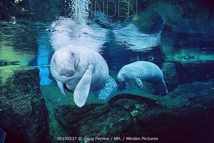 Florida manatee and calf (Trichchus manatus latirostris) marine aquarium, USA, captive, FOR EDITORIAL USE ONLY  -  Doug Perrine/ npl