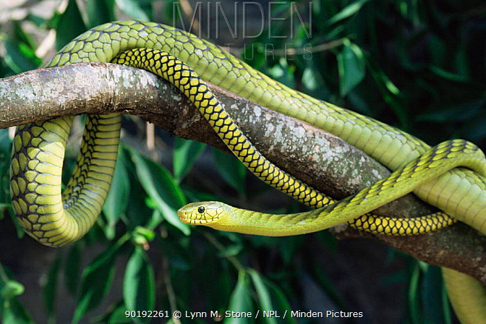 Western green mamba (Dendroaspis virids), captive  -  Lynn M. Stone/ npl