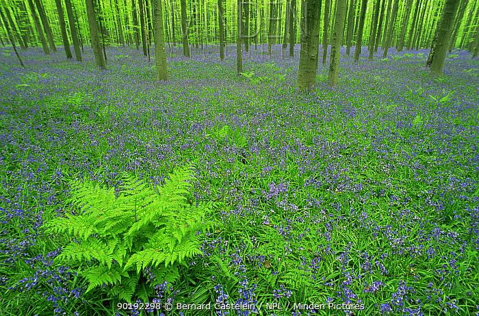 Bluebells in beech wood (Endymion nonscriptus) Hallerbos, Belgium  -  Bernard Castelein/ npl