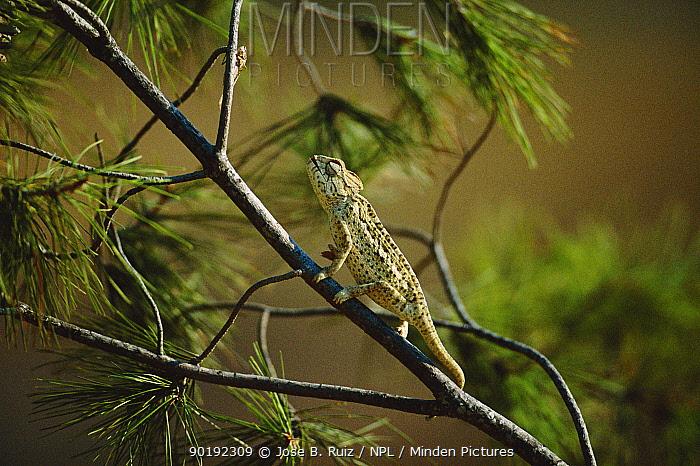 European chameleon about to strike grasshopper with tongue Sequence 1 of 2 (Chamaeleo chamaeleon) Spain  -  Jose B. Ruiz/ npl