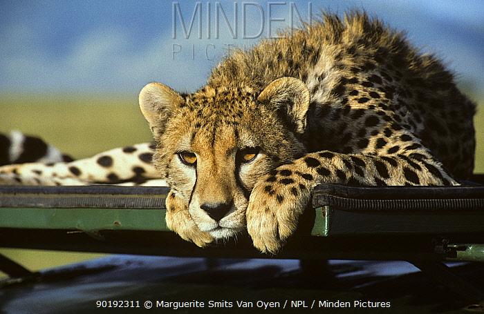Cheetah lying on jeep (Acinonyx jubatus) Masai Mara GR, Kenya  -  Marguerite Smits Van Oyen/ npl