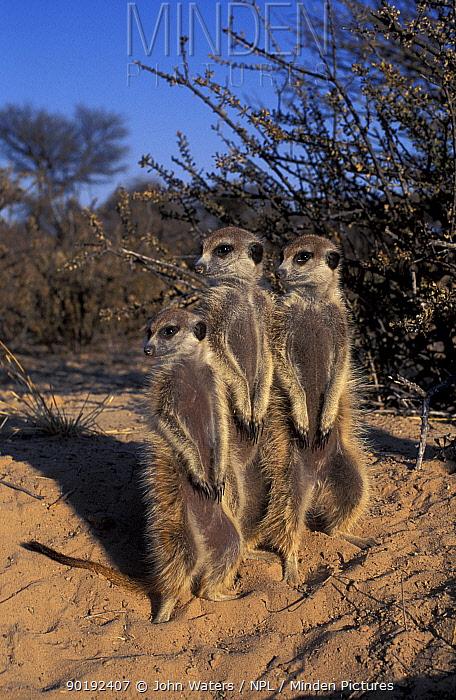 Three Suricates, Meerkats standing on guard (Suricata suricata) Kalahari, South Africa  -  John Waters/ npl