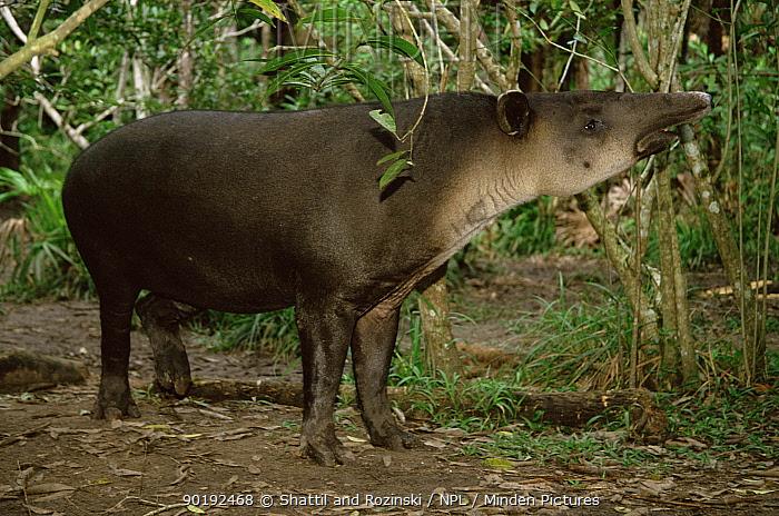Bairds tapir (Tapirus bairdii) Belize, endangered  -  Shattil & Rozinski/ npl