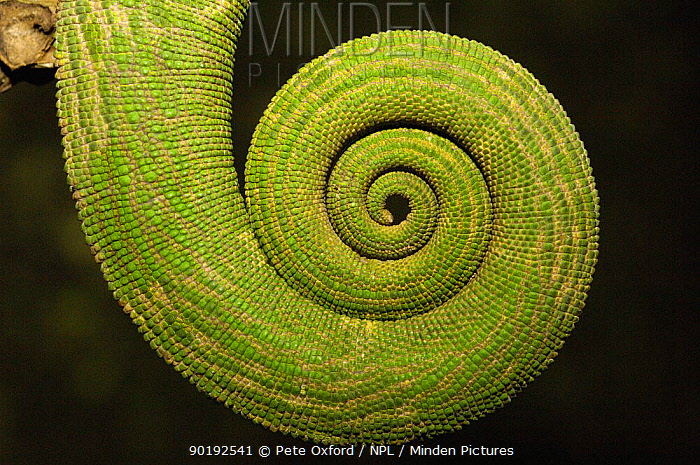Close up of coiled Chameleon tail, MADAGASCAR  -  Pete Oxford/ npl
