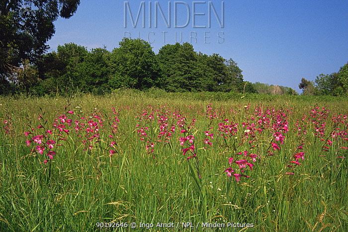 Field of Gladioli (Gladiolus paluster), Corsica  -  Ingo Arndt/ npl